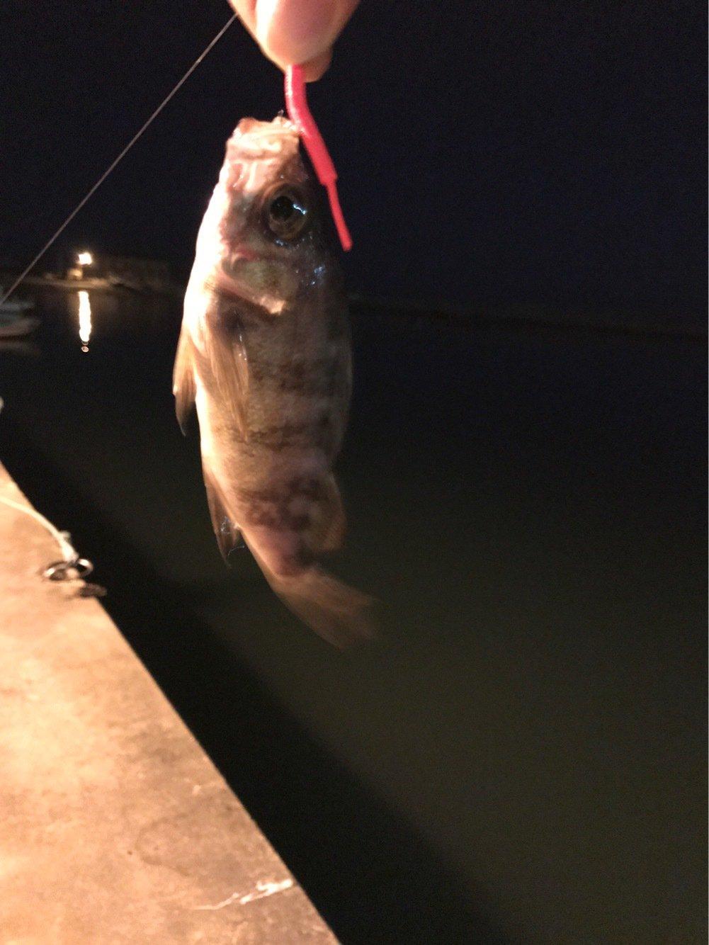 たかやんさんの投稿画像,写っている魚はクロメバル