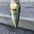 見習い釣人さんの青森県むつ市での釣果写真