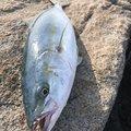 桜鱒さんの岩手県陸前高田市での釣果写真