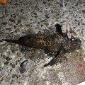 風来のモンドさんのオニオコゼの釣果写真