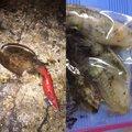 かずさんの新潟県新潟市でのコウイカの釣果写真