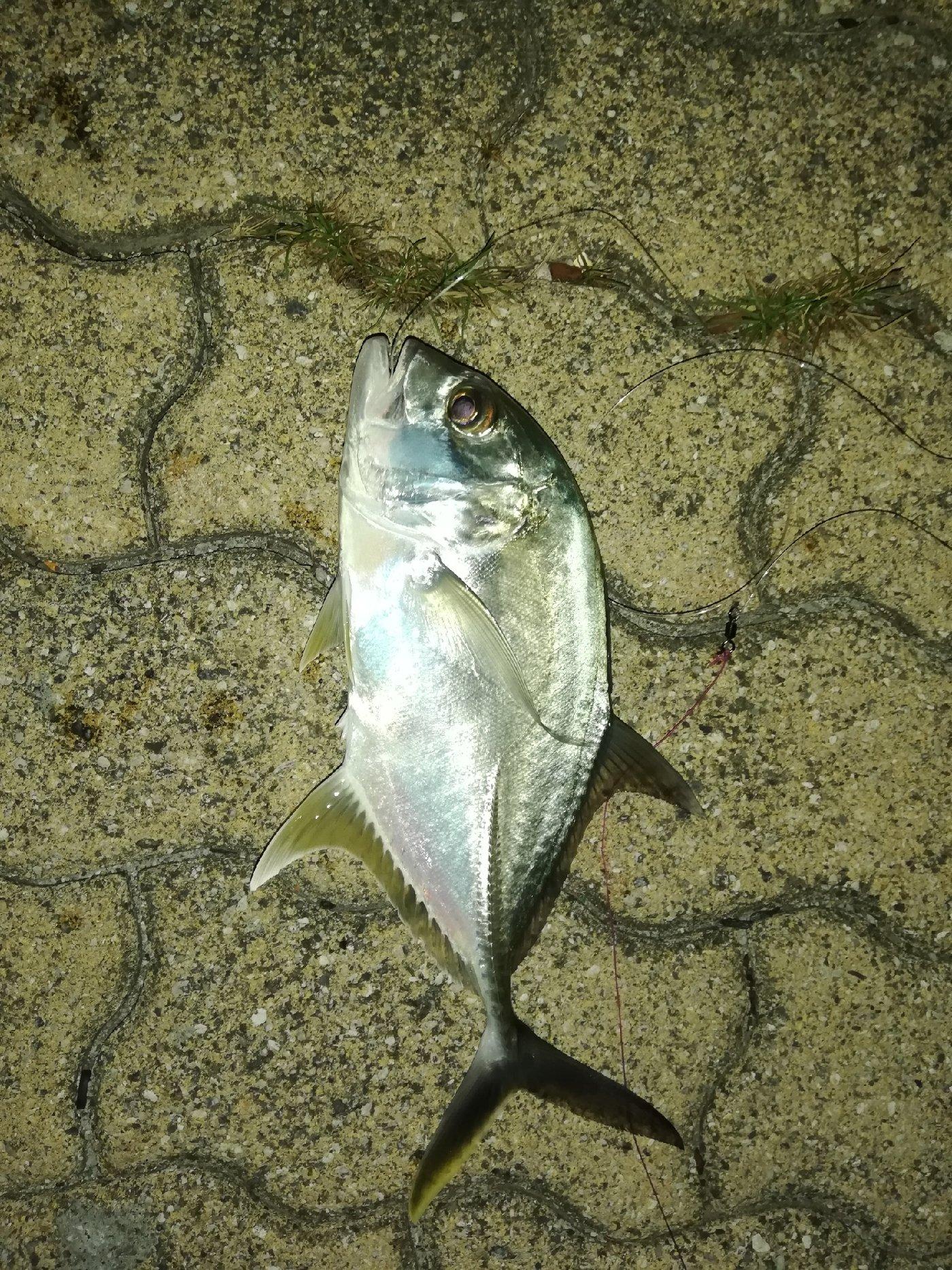 いっせい@働きたくないさんの投稿画像,写っている魚はカスミアジ