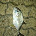 いっせい@働きたくないさんの沖縄県でのカスミアジの釣果写真