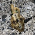 ヨシハラさんの山口県大島郡でのアオリイカの釣果写真