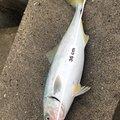 アキラさんの青森県三沢市での釣果写真