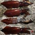 風来のモンドさんのケンサキイカの釣果写真