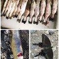 ちかさんの神奈川県愛甲郡での釣果写真