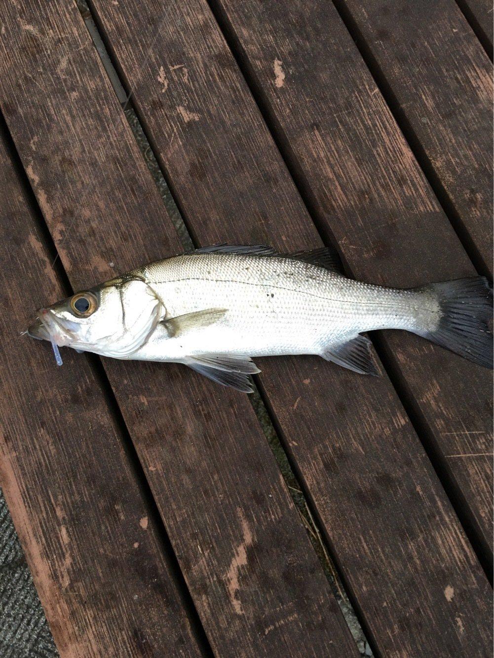 川島モーツァルトさんの投稿画像,写っている魚はスズキ