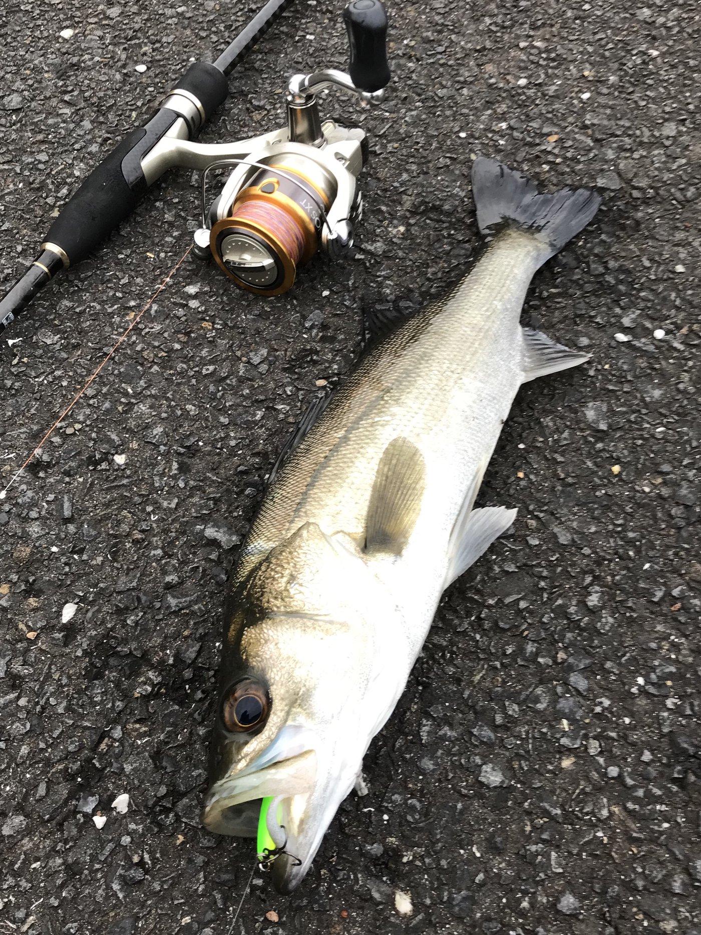 吉岡 大来さんの投稿画像,写っている魚はスズキ