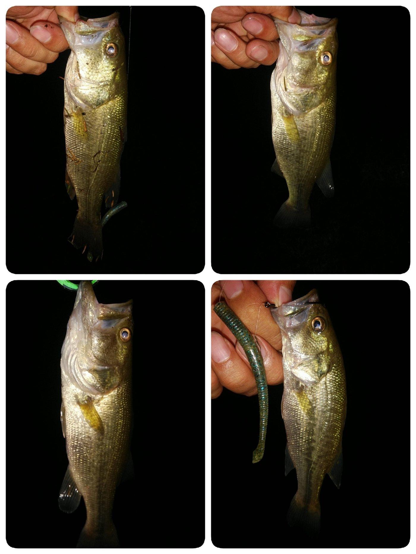 Masaさんの投稿画像,写っている魚はブラックバス