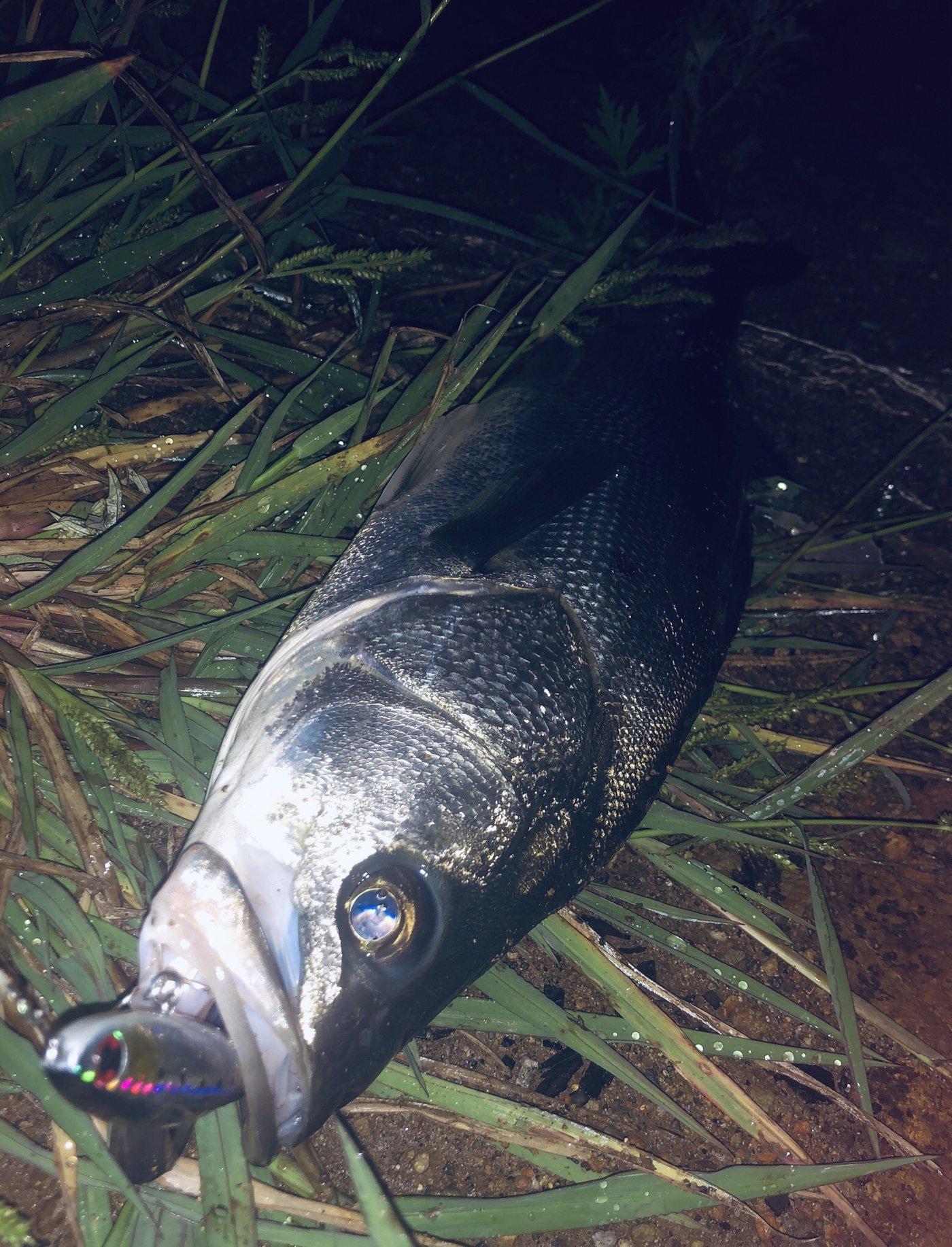 はんたまるさんの投稿画像,写っている魚はスズキ