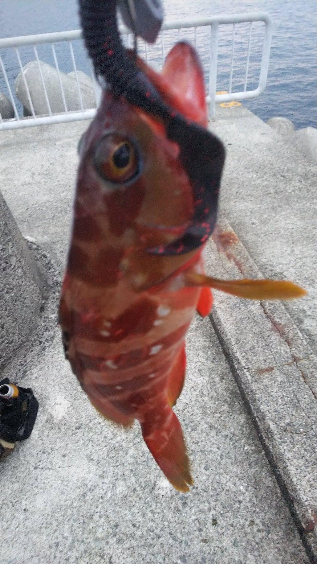 BONさんの投稿画像,写っている魚はアカハタ