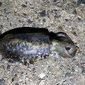レッドテイルさんの山口県下松市でのアオリイカの釣果写真
