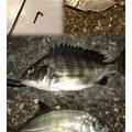 テラざわすさんの徳島県での釣果写真