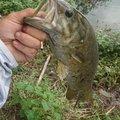 y275さんの埼玉県でのスモールマウスバスの釣果写真