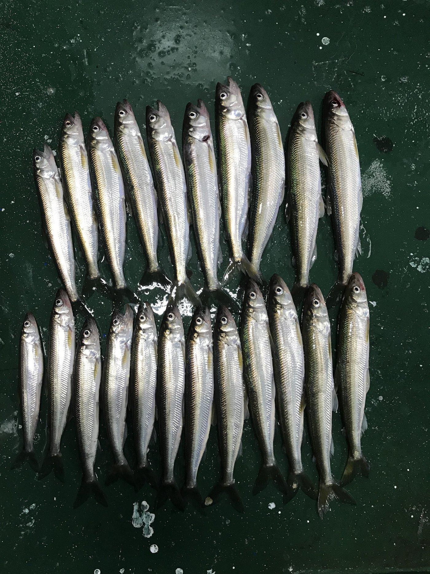 吉岡 大来さんの投稿画像,写っている魚はキュウリウオ