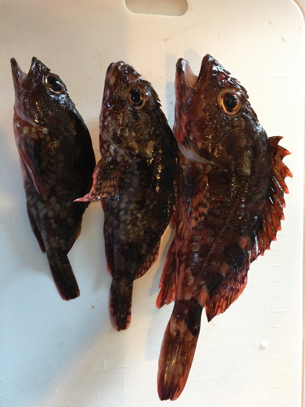 まるわたろうさんの投稿画像,写っている魚はカサゴ