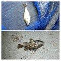 ゆーすけさんのウミタナゴの釣果写真