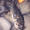 kathuさんの北海道茅部郡での釣果写真