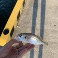 トサキントさんの宮城県塩竈市での釣果写真