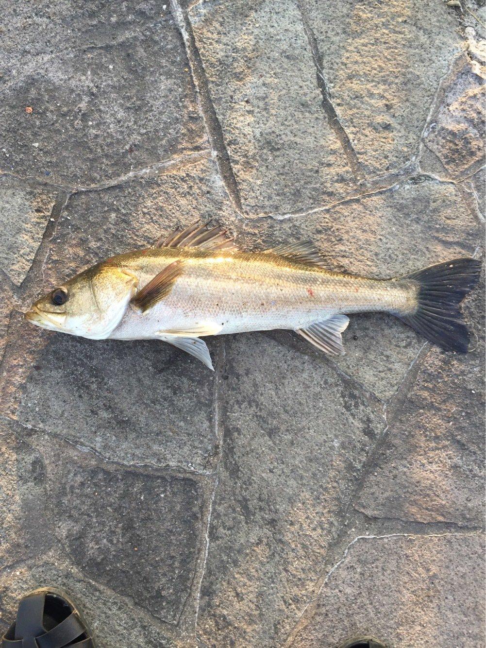boboさんの投稿画像,写っている魚はスズキ