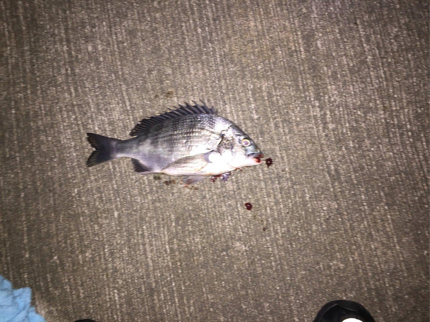 石井誠一さんの投稿画像,写っている魚はクロダイ