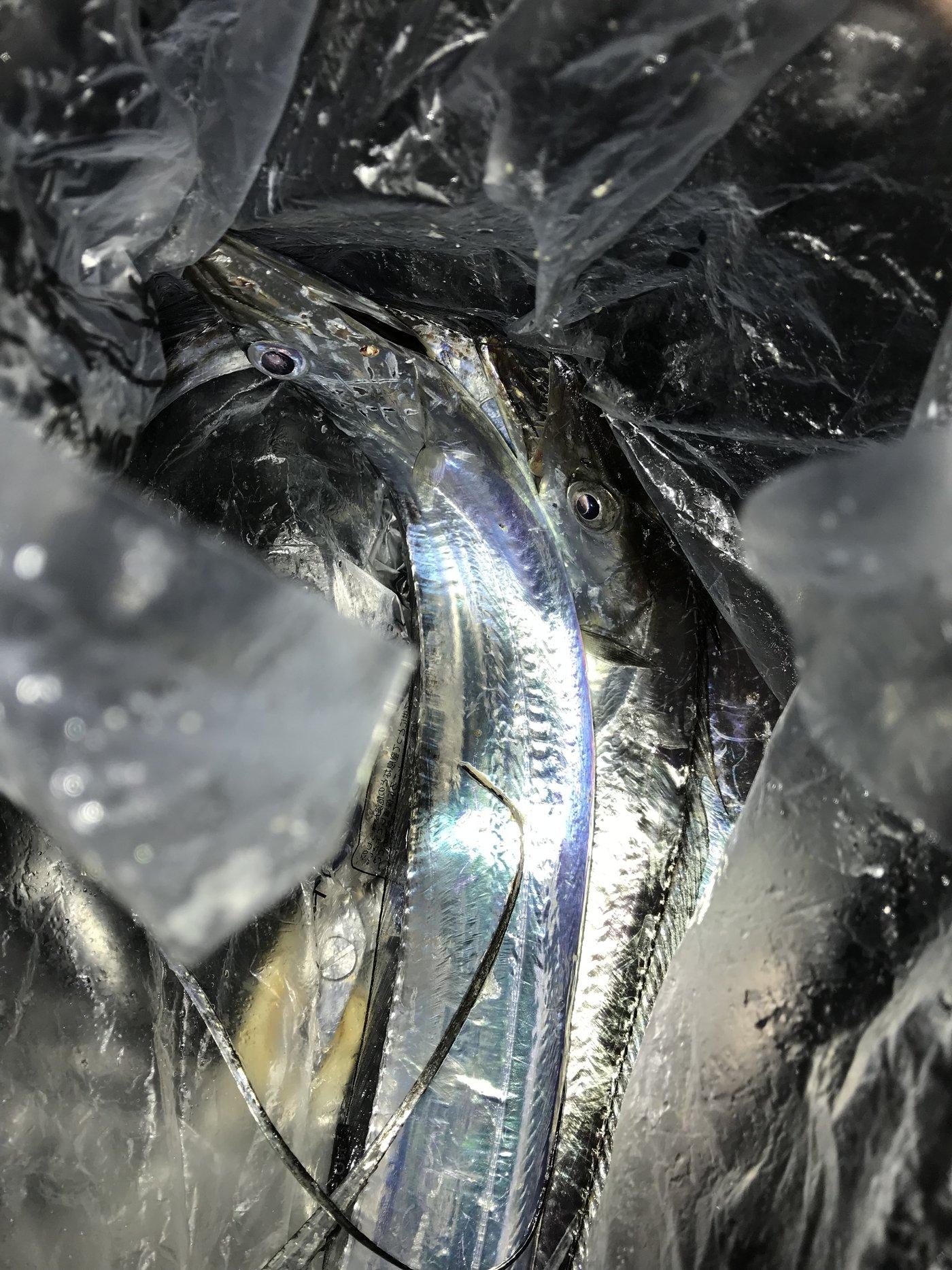 peeさんの投稿画像,写っている魚はタチウオ