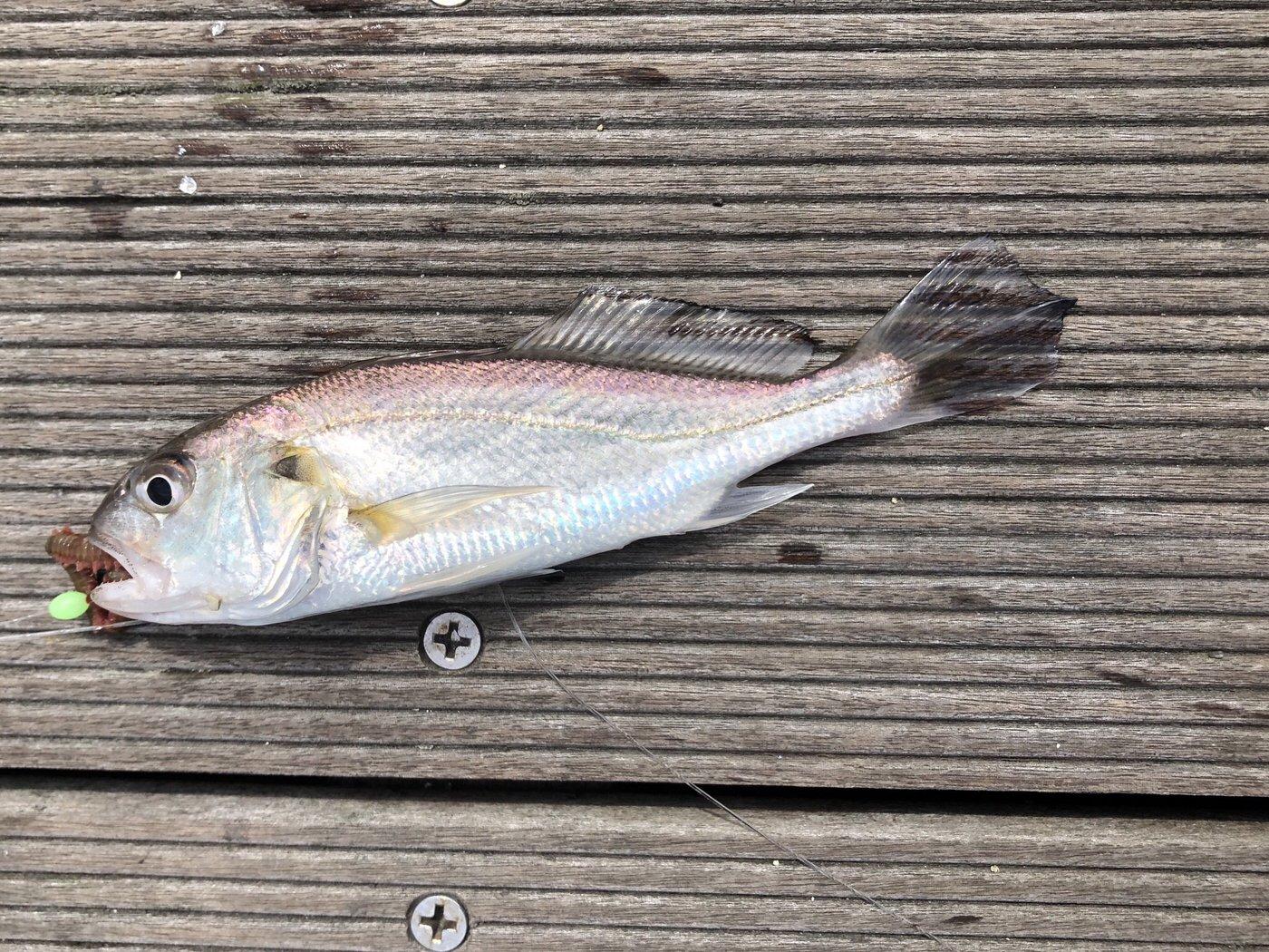 天野澪さんの投稿画像,写っている魚はイシモチ