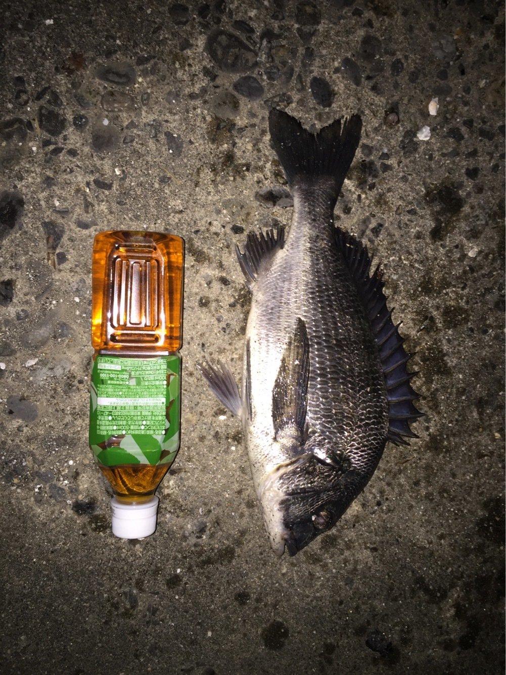 デブ猫トムさんの投稿画像,写っている魚はクロダイ