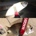 MAXさんの福岡県福岡市での釣果写真