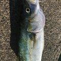 KINGさんの新潟県上越市での釣果写真