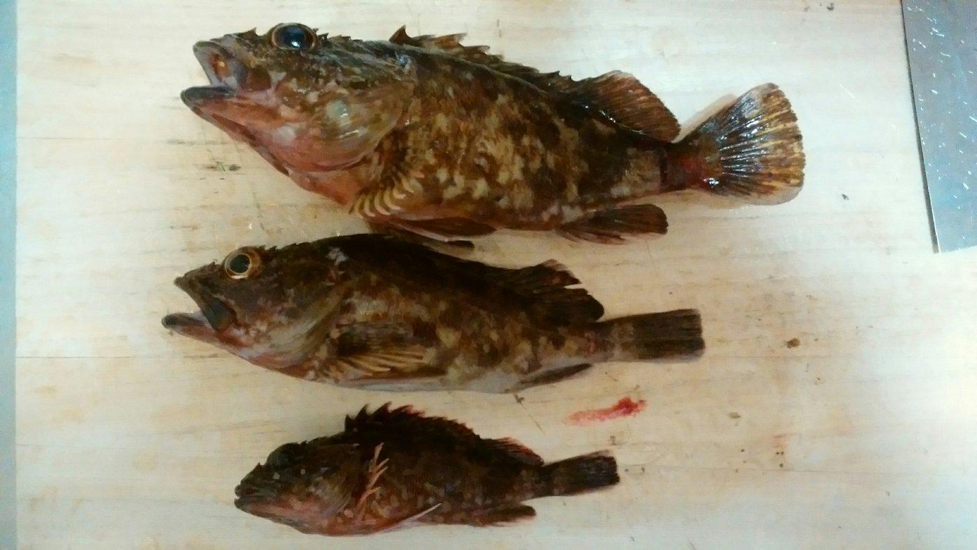 ゆーま武士さんの投稿画像,写っている魚はカサゴ