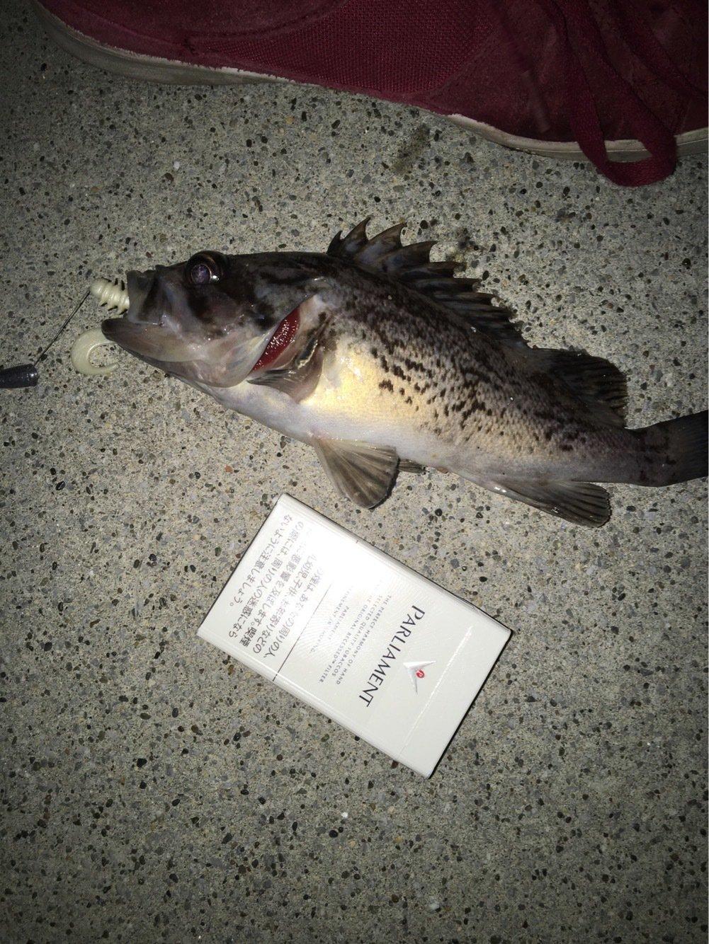 大雑把さんの投稿画像,写っている魚はクロソイ