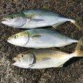 ナブラ太郎さんの和歌山県和歌山市での釣果写真