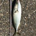 マリさんの兵庫県加古郡での釣果写真