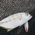 ぜっとさんの静岡県賀茂郡での釣果写真