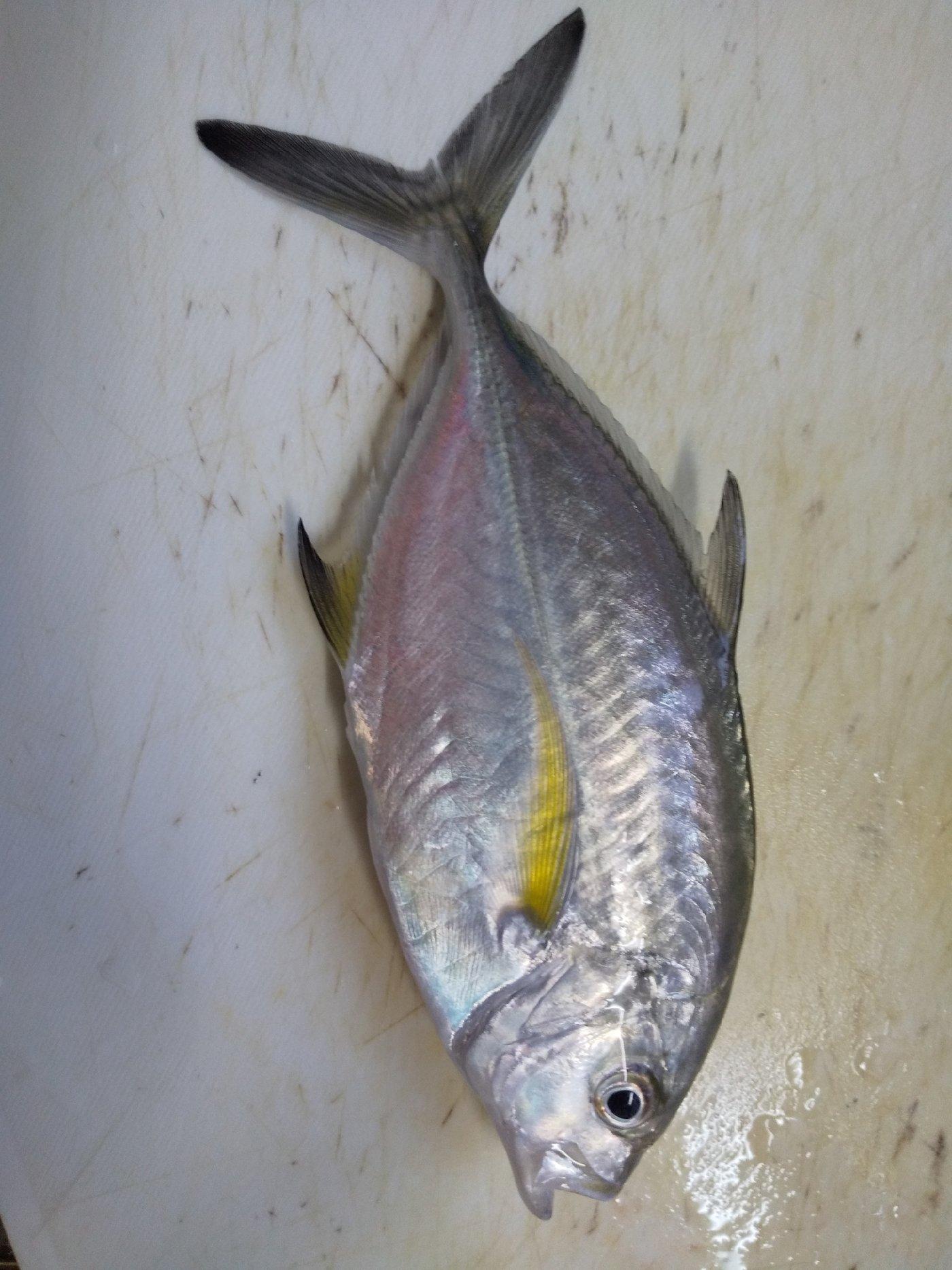 さわさんの投稿画像,写っている魚はカスミアジ