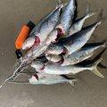 またすけさんの青森県三沢市での釣果写真