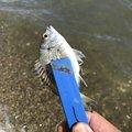 軍団さんの静岡県湖西市での釣果写真