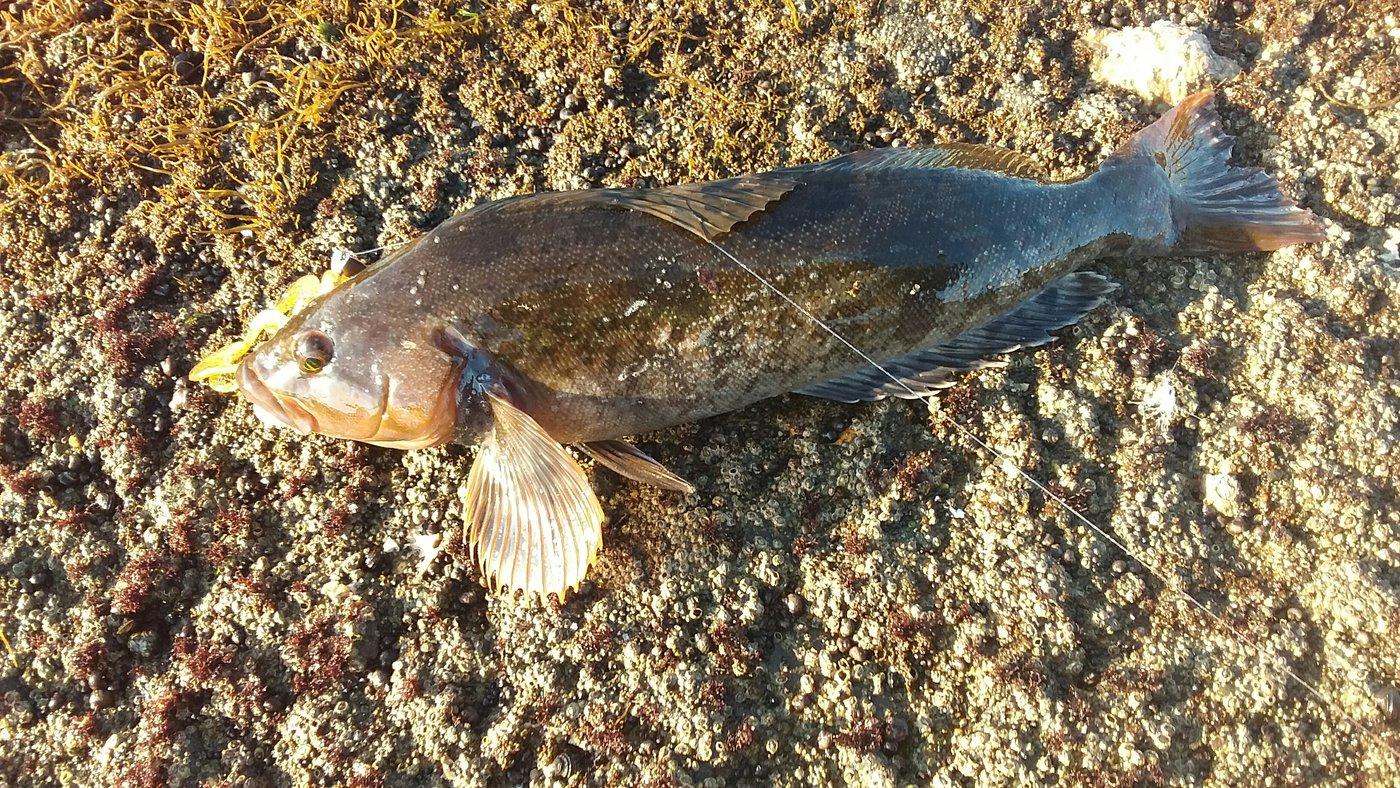 anakiさんの投稿画像,写っている魚はアイナメ