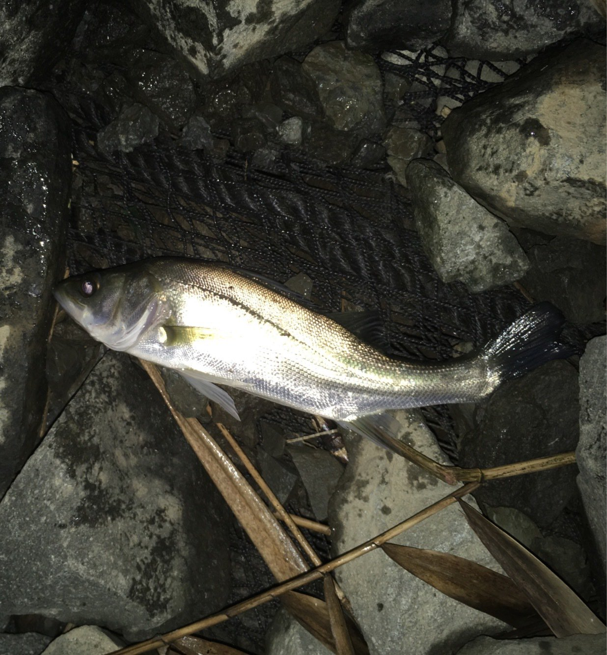 TKさんの投稿画像,写っている魚はスズキ