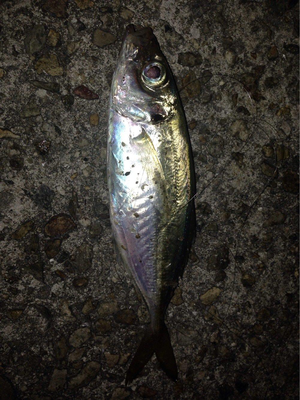 しまぶーさんの投稿画像,写っている魚はアジ