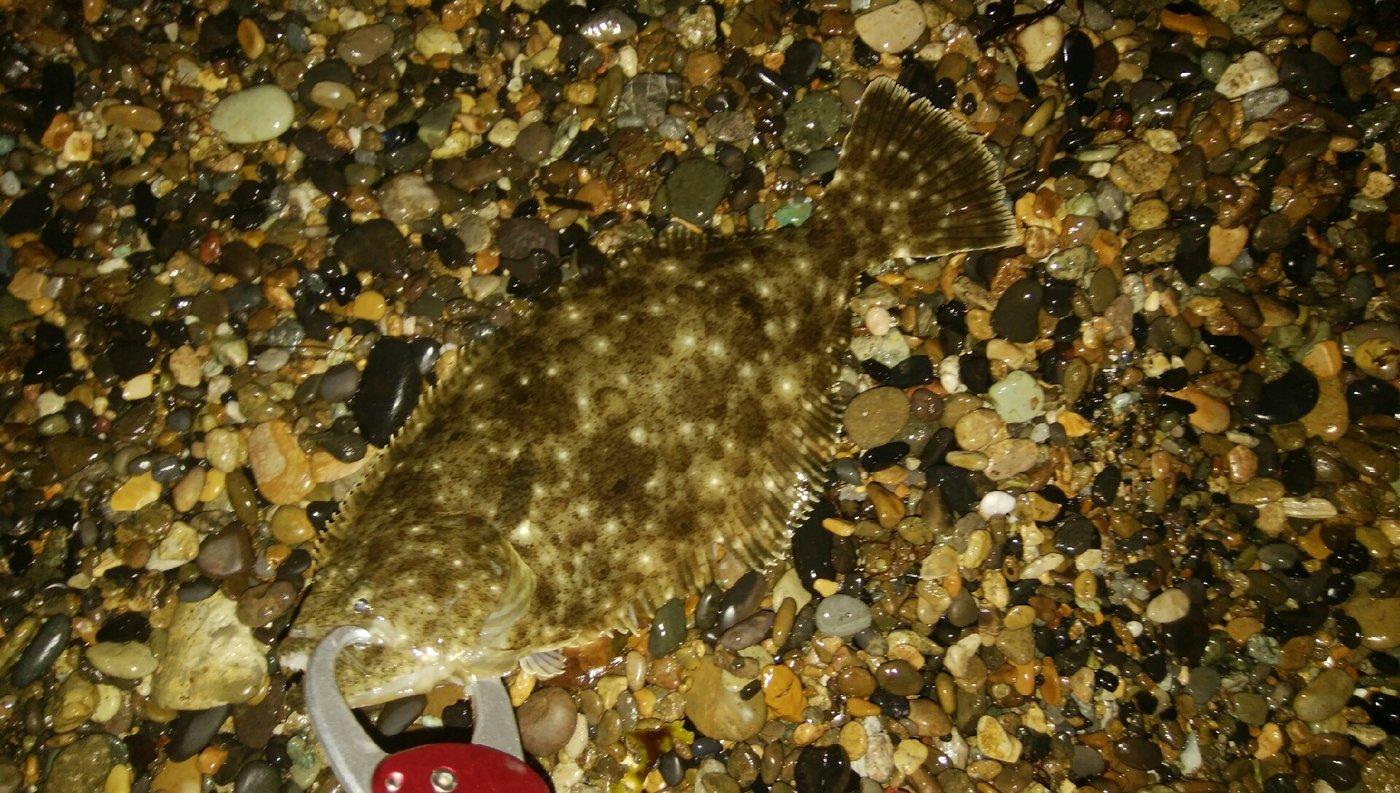 杉田寿限無さんの投稿画像,写っている魚はヒラメ