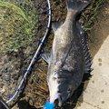 セン ヨウシュウさんの東京都江戸川区での釣果写真