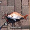青汁ハイボールさんの岡山県玉野市での釣果写真