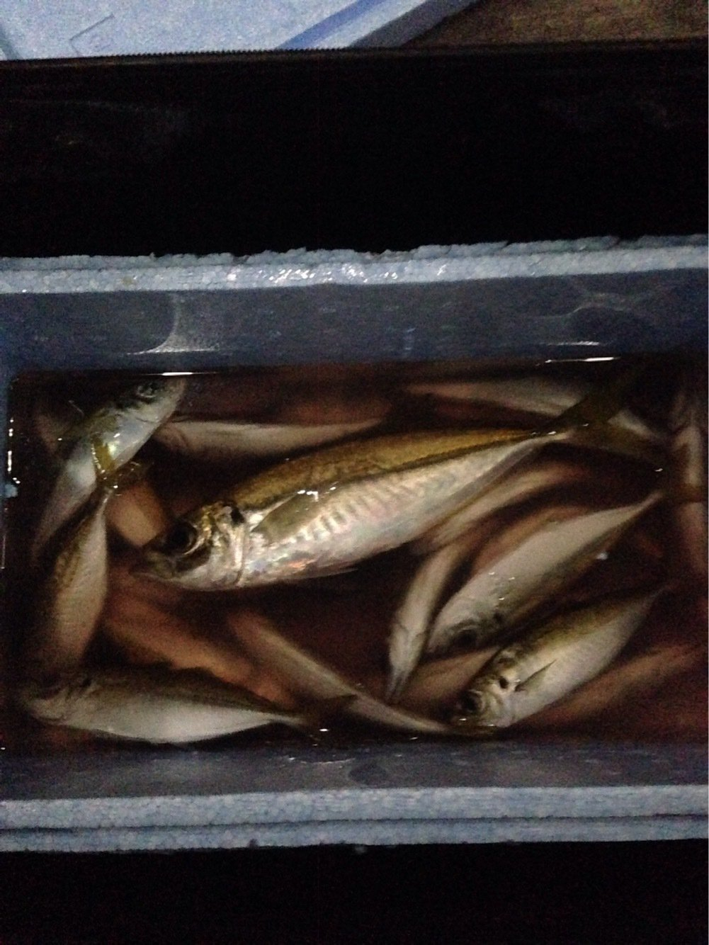 江頭和彦さんの投稿画像,写っている魚はアジ