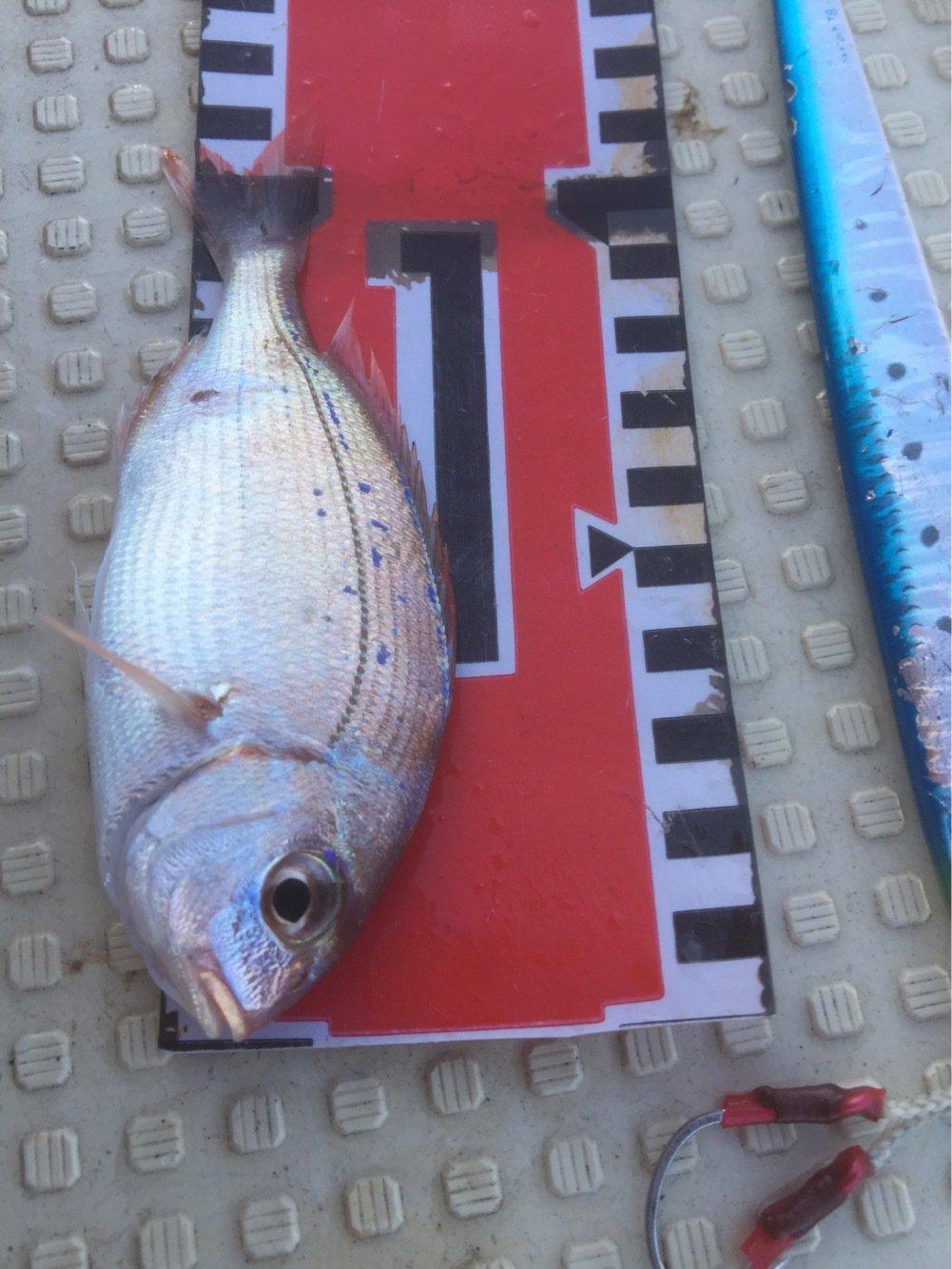 ガッツ!さんの投稿画像,写っている魚はチダイ
