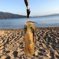 わかさんの福井県敦賀市での釣果写真