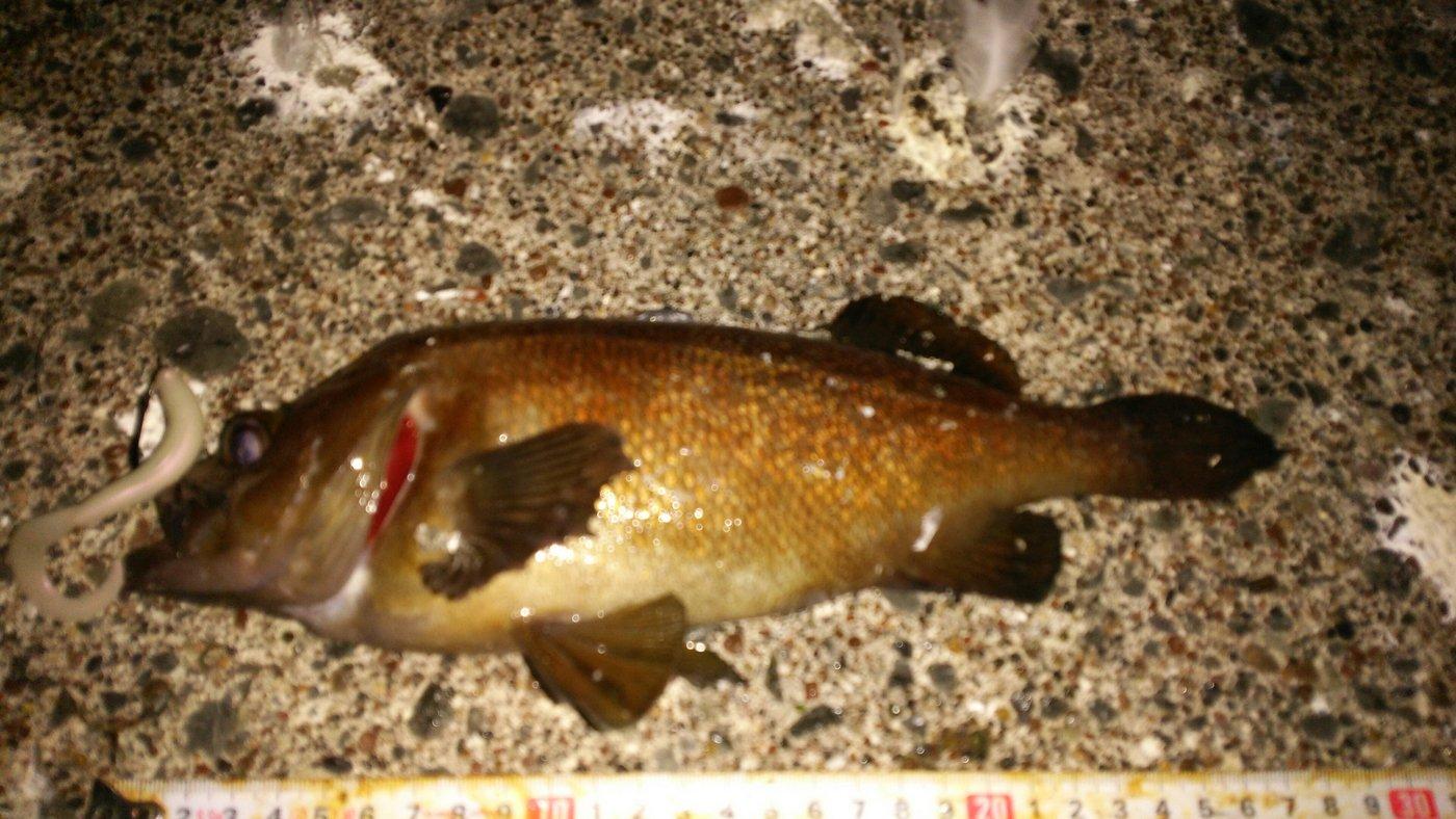 shiningさんの投稿画像,写っている魚はエゾメバル