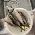 じぇーむすさんの富山県射水市での釣果写真